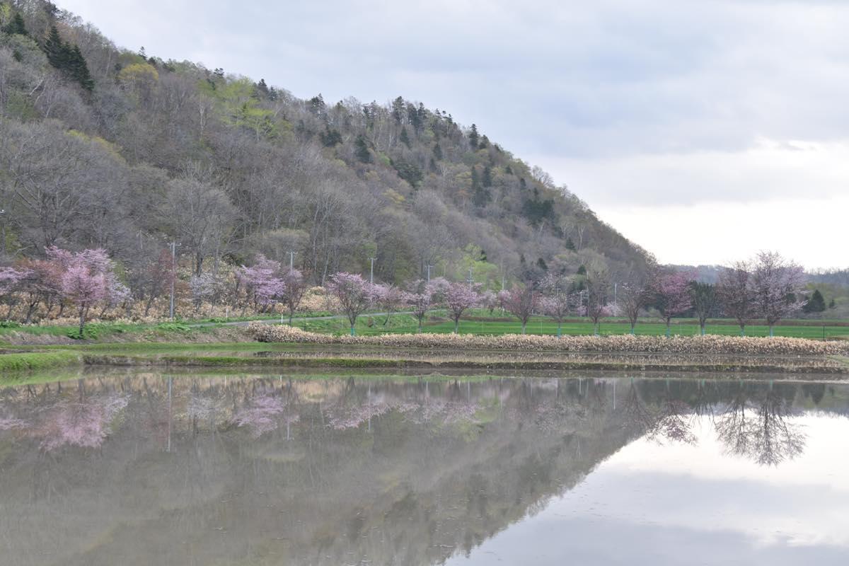 春はあけぼの。初山別村有明田園の水鏡と淡い桜の色。