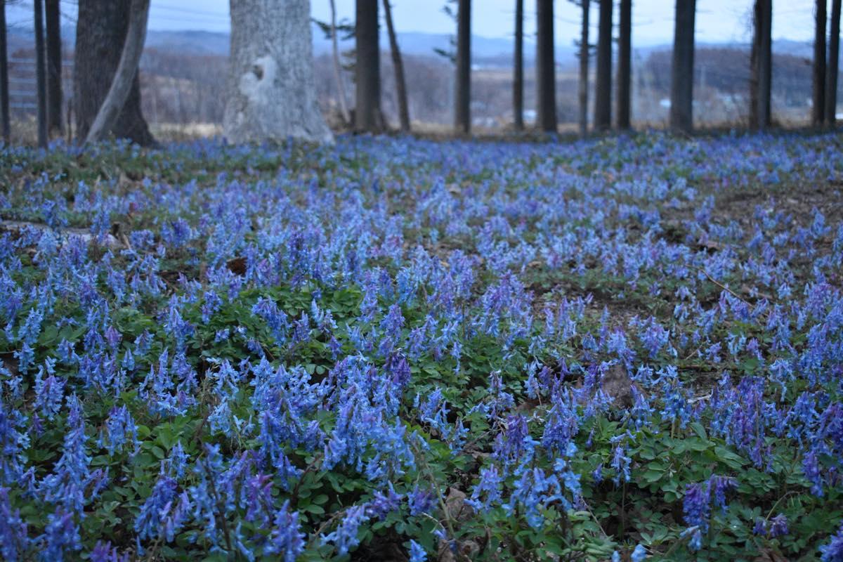 神秘の青、エゾエンゴサク。野の空気まで瑞々しく感じられる春の風景。苫前町金比羅神社