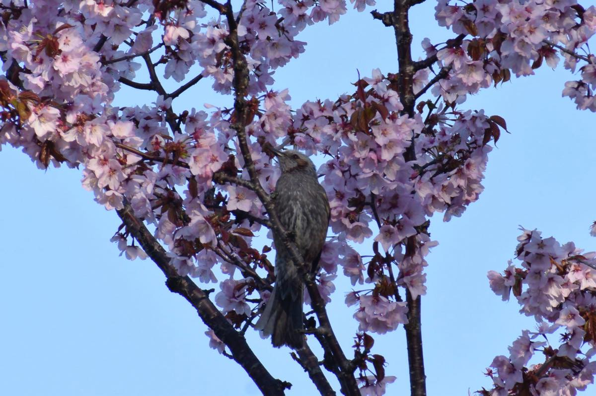 桜とツグミ。留萌市神居岩公園
