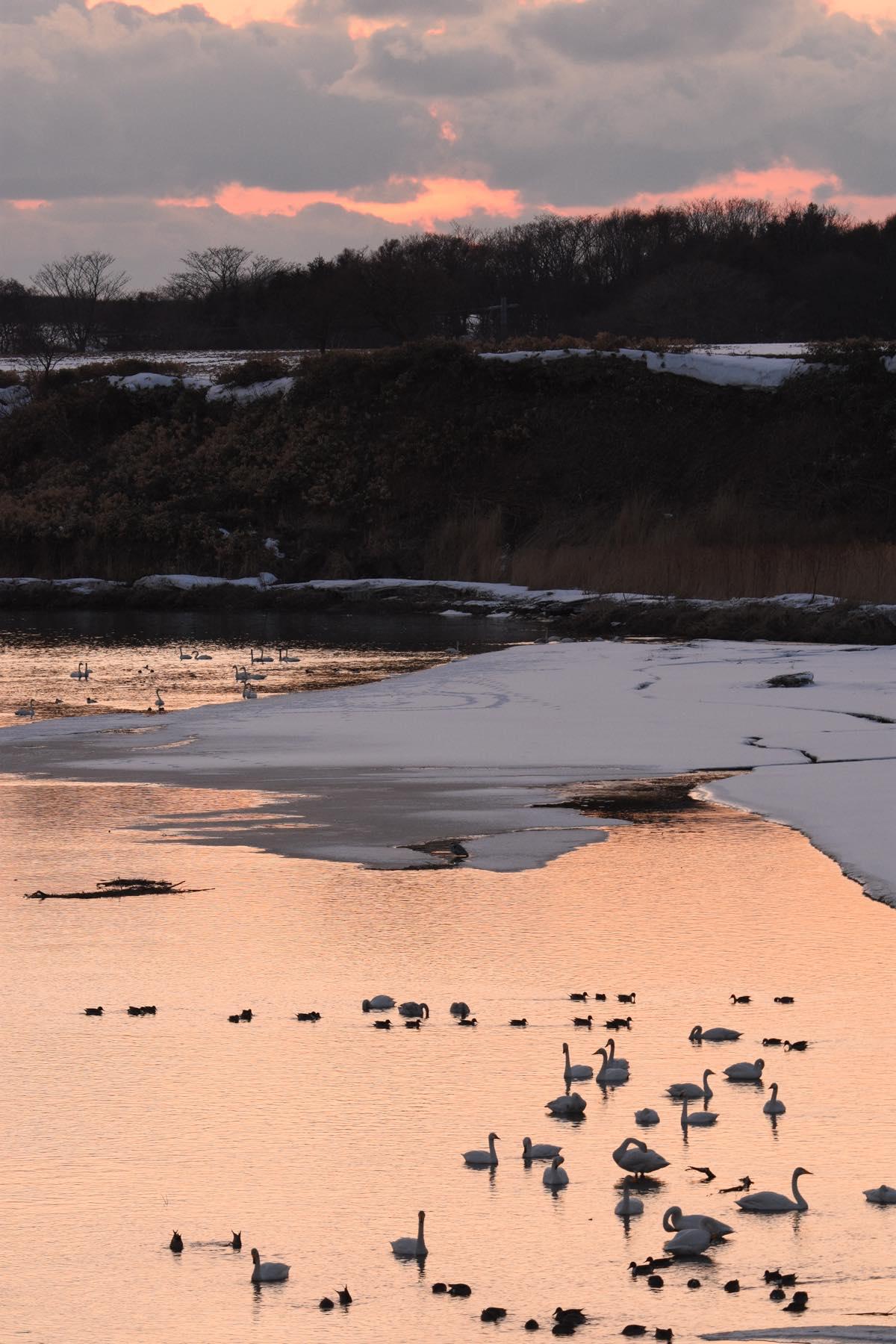 古丹別川の夕景と羽を休める白鳥の群れ。苫前町香川