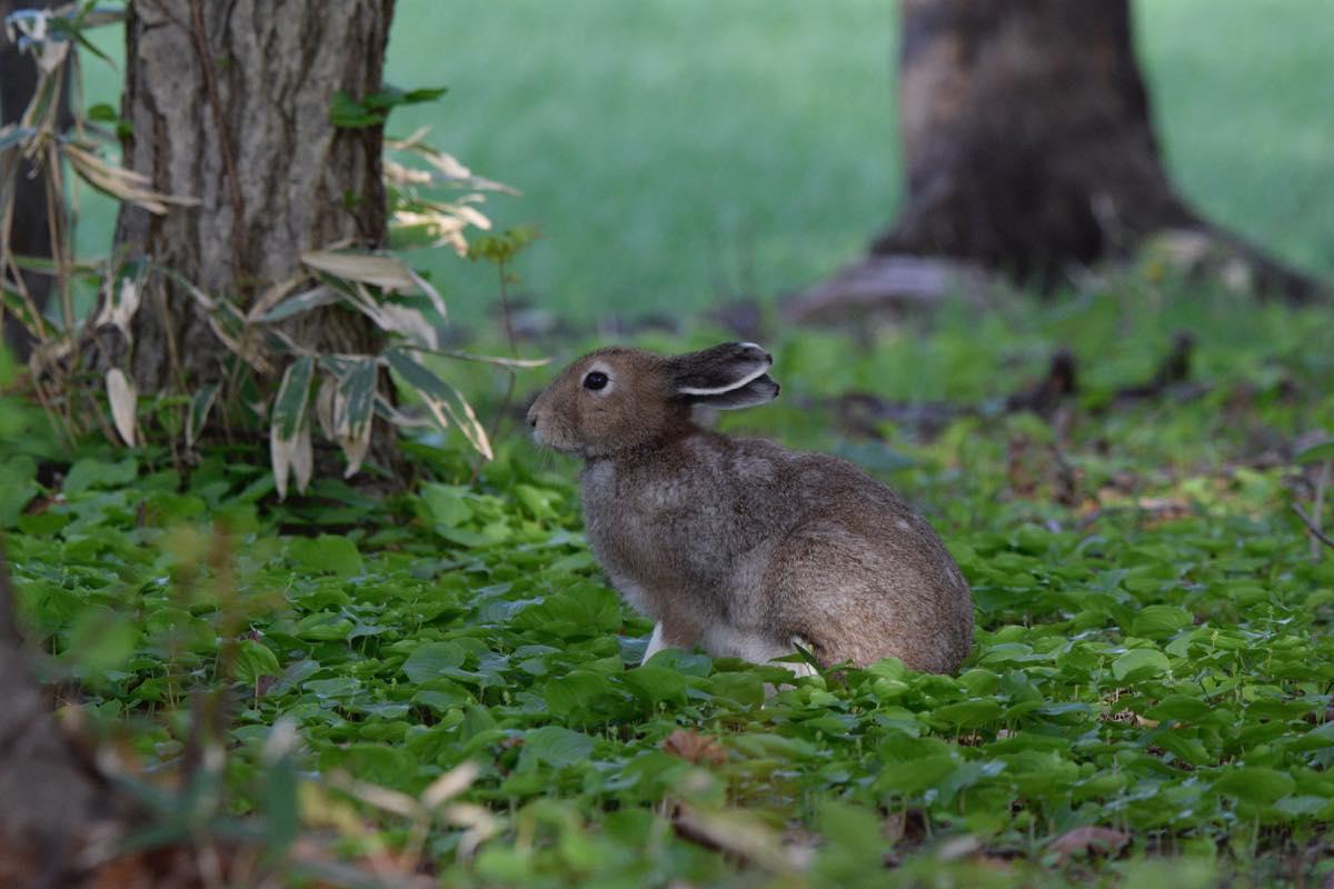夏毛のエゾユキウサギ。苫前町金比羅神社